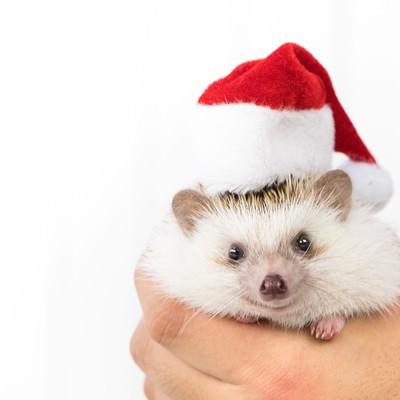 「サンタ帽をかぶったハリネズミ」の写真素材