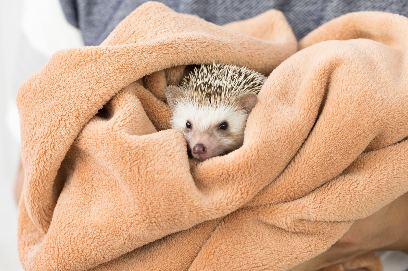 「タオルに包まるハリネズミ」の写真