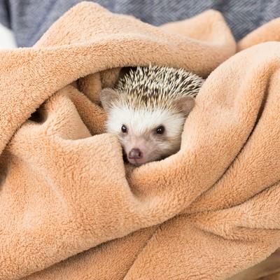 「タオルに包まるハリネズミ」の写真素材