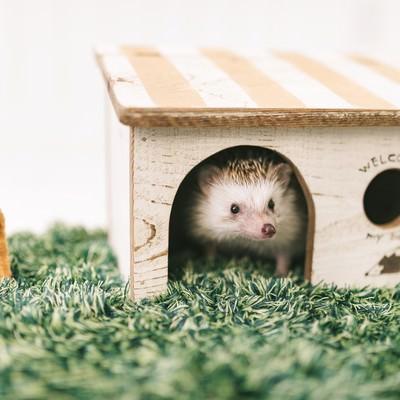 「家から顔を出すハリネズミ」の写真素材