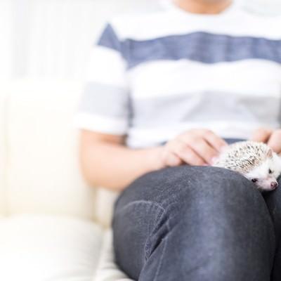 「膝の上でくつろぐハリネズミ」の写真素材