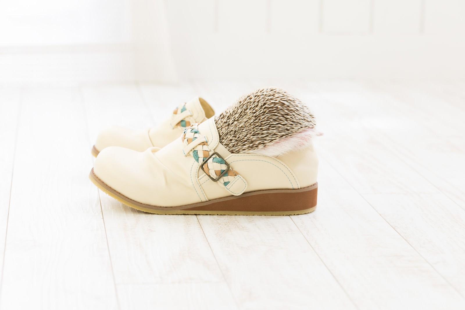 「靴にすっぽり隠れるハリネズミ」の写真