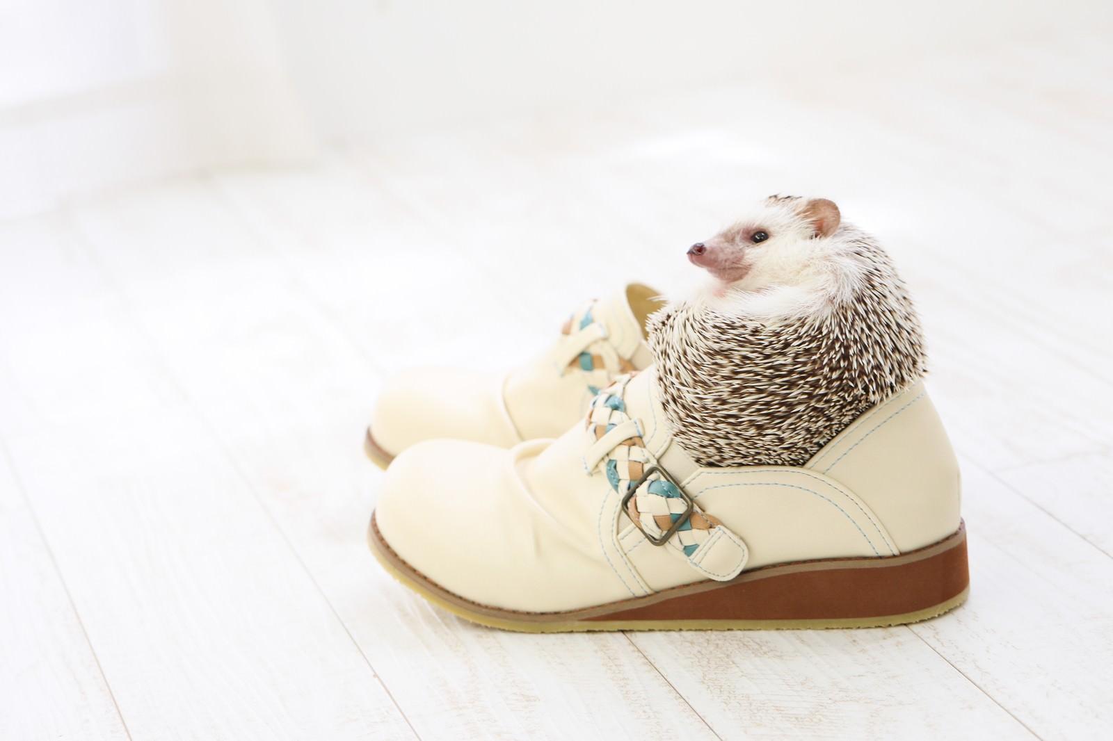 「人間の靴にはまり込むハリネズミ」の写真