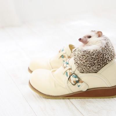 「人間の靴にはまり込むハリネズミ」の写真素材