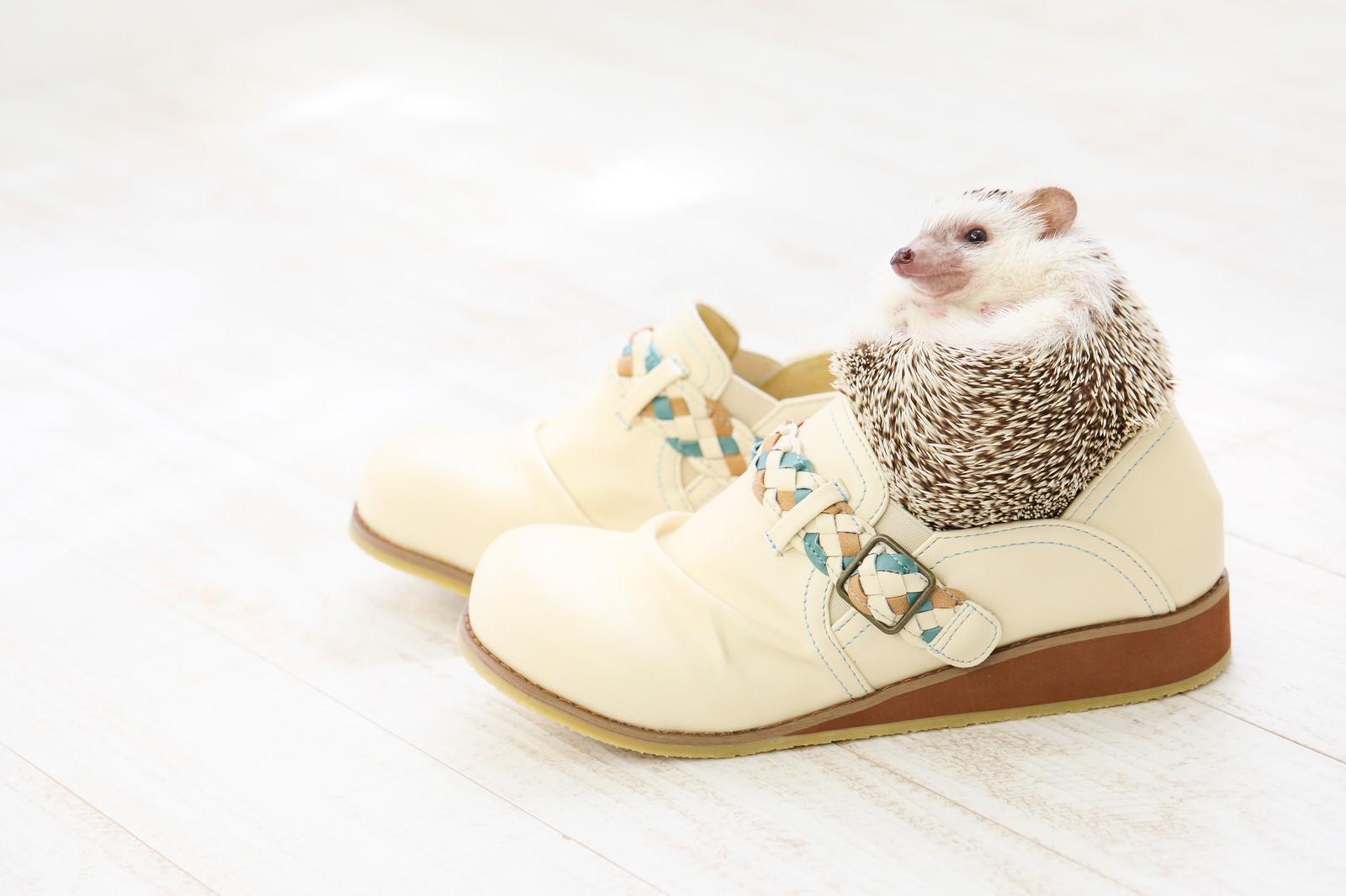 「靴のサイズにちょうどいい! まんまるハリネズミ靴のサイズにちょうどいい! まんまるハリネズミ」のフリー写真素材を拡大