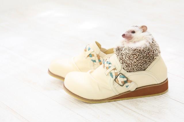 靴のサイズにちょうどいい! まんまるハリネズミの写真