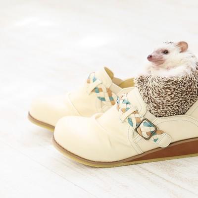 「靴のサイズにちょうどいい! まんまるハリネズミ」の写真素材