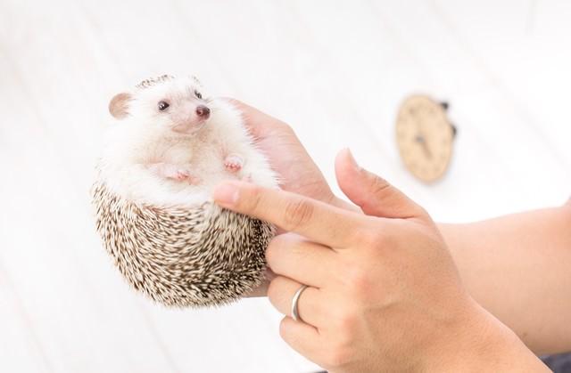 ハリネズミの小さくて可愛い手足の写真