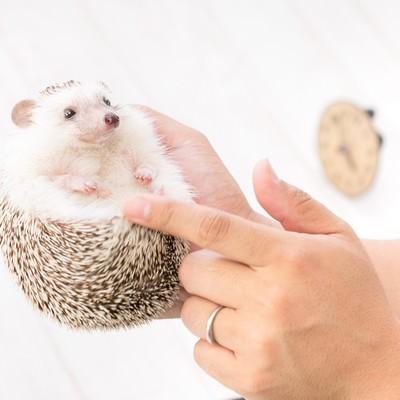 「ハリネズミの小さくて可愛い手足」の写真素材