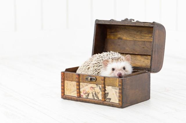 宝箱に入り込んだハリネズミの写真