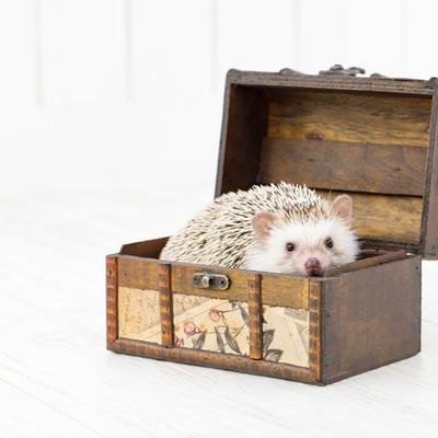 「宝箱に入り込んだハリネズミ」の写真素材