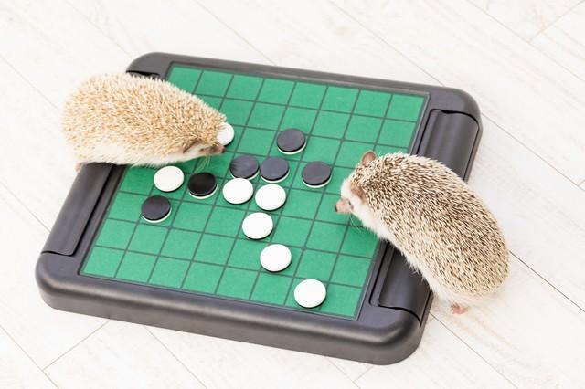 テーブルゲーム(オセロ)で白熱するハリネズミの写真