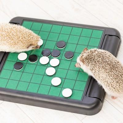 「テーブルゲーム(オセロ)で白熱するハリネズミ」の写真素材