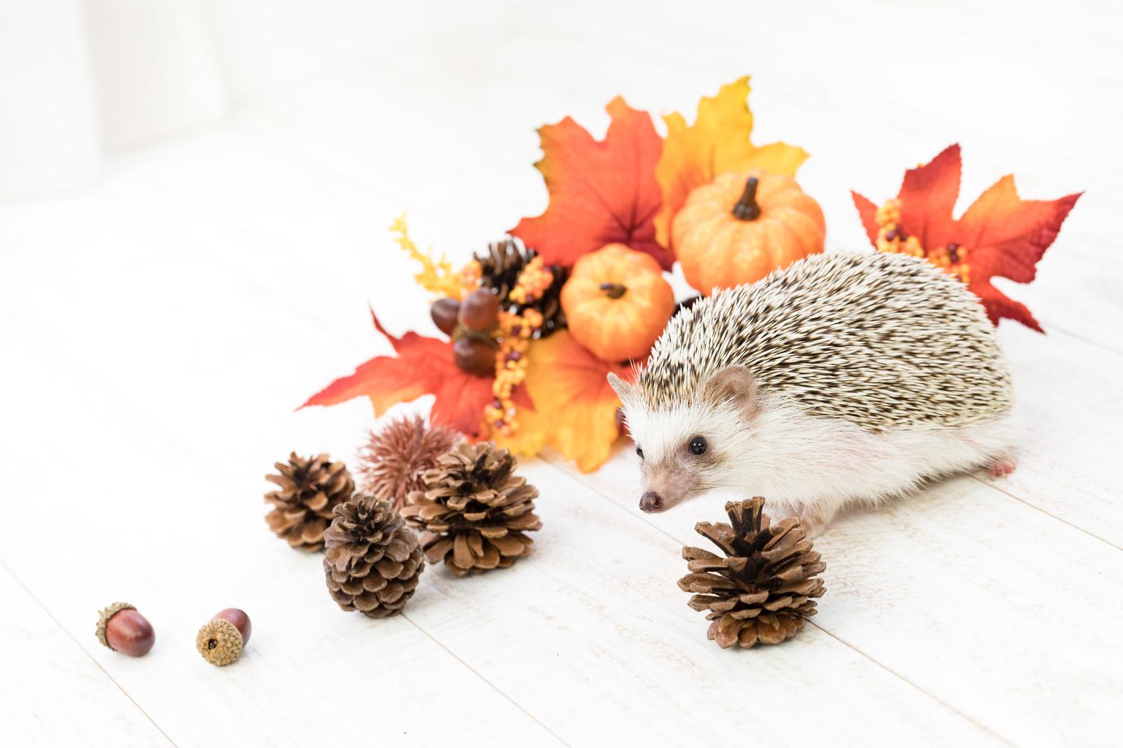 「秋の紅葉と小さなハリネズミ」の写真[モデル:ハリネズミ]