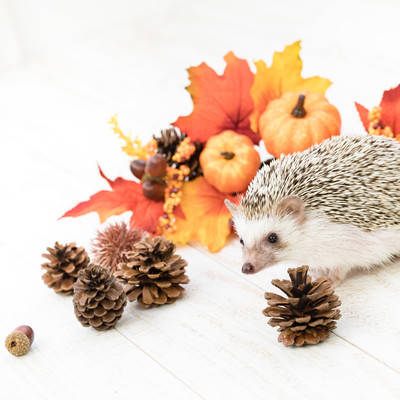 秋の紅葉と小さなハリネズミの写真