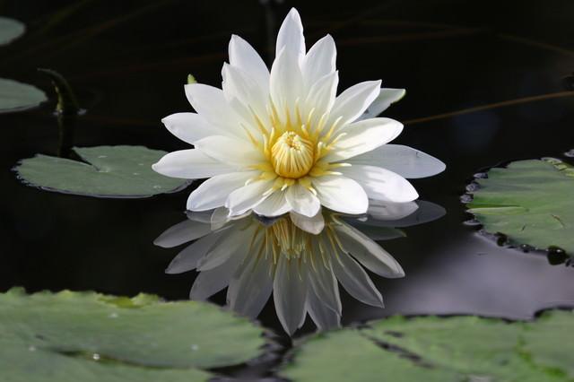 触手のような睡蓮の花弁の写真