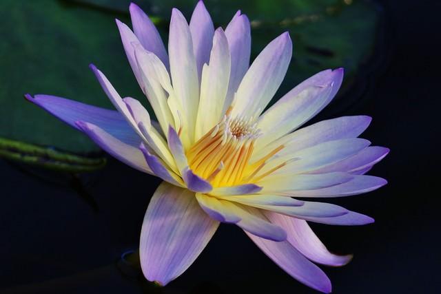 紫色の睡蓮の花の写真