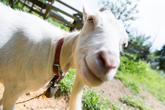 カメラを向けると近づいてくる山羊さんの写真