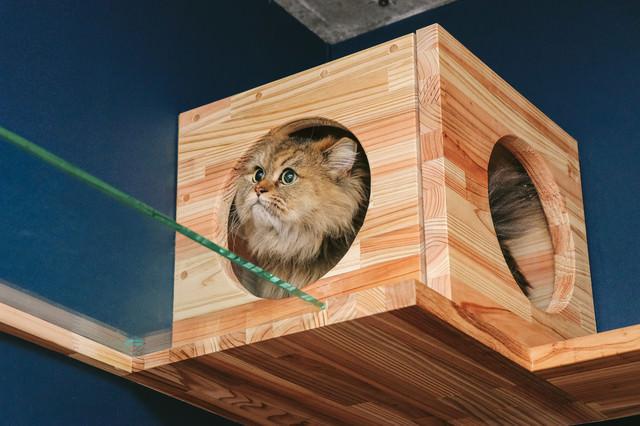 キャットボックスを気に入ったペルシャ猫の写真