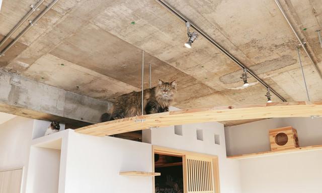 キャットウォークを優雅にあるくペルシャ猫の写真