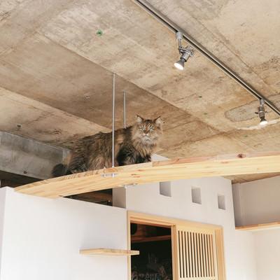 「キャットウォークを優雅にあるくペルシャ猫」の写真素材