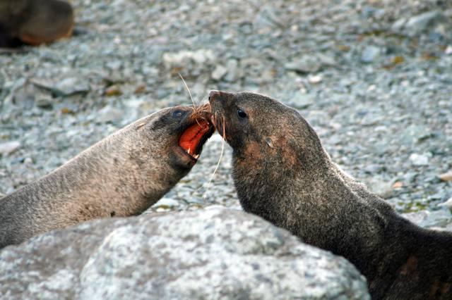 アザラシ同士の喧嘩の写真