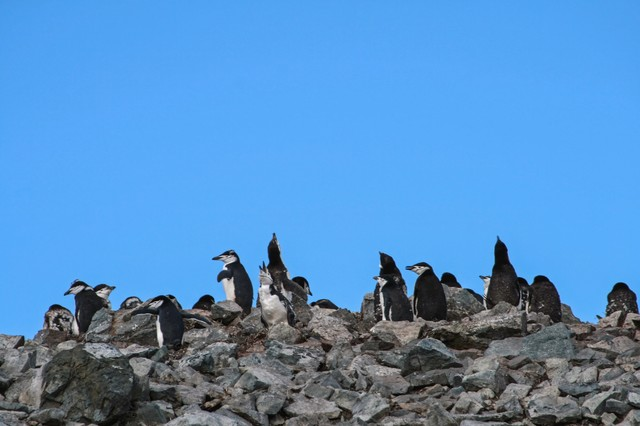 ヒゲペンギンの群れの写真
