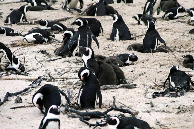 卵を温めるペンギンコロニーの写真