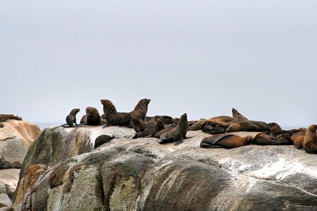 アザラシの群れの写真