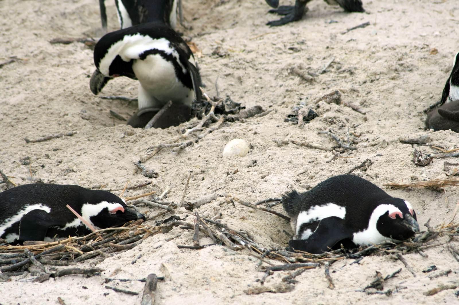 「卵を温めるペンギンの群れ」の写真