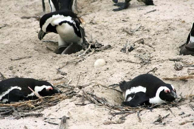 卵を温めるペンギンの群れの写真