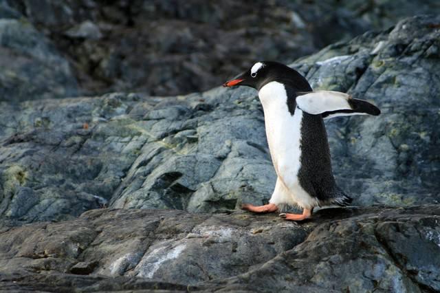 走るペンギンの写真