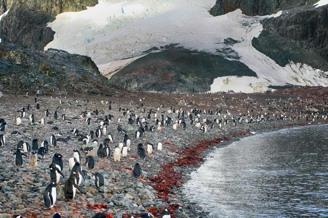 クーパービル島の住人(ペンギン)の写真
