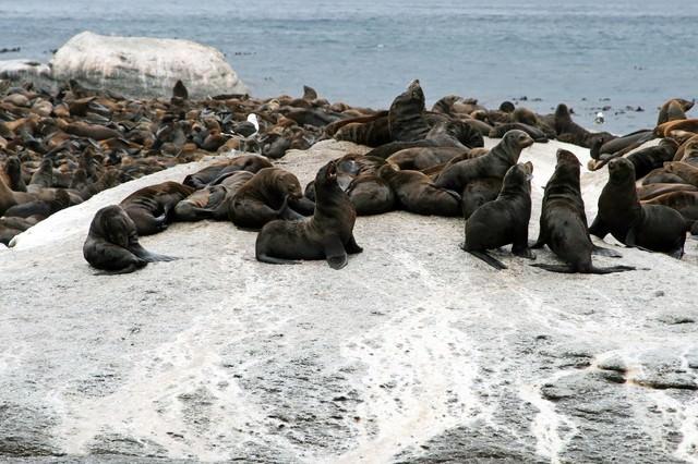 ものすごいアザラシの群れの写真