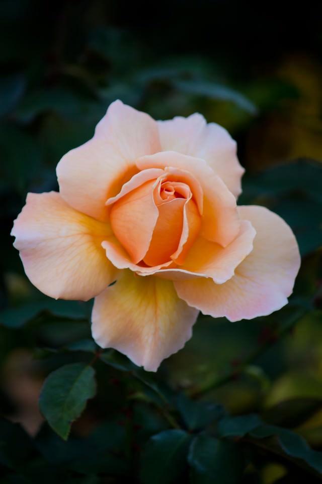 ジャストジョイの薔薇の写真