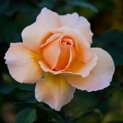 「ジャストジョイの薔薇」の写真素材