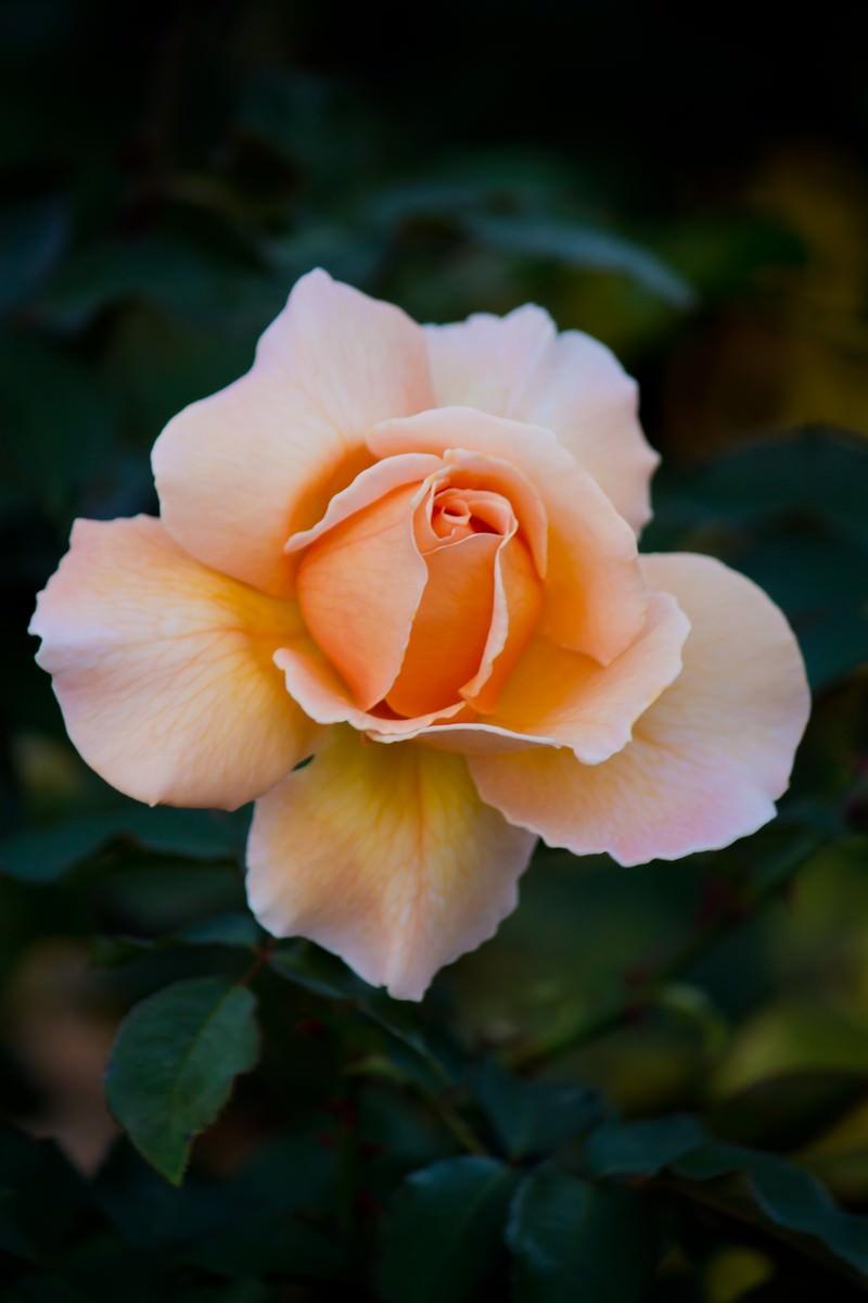 「ジャストジョイの薔薇」の写真