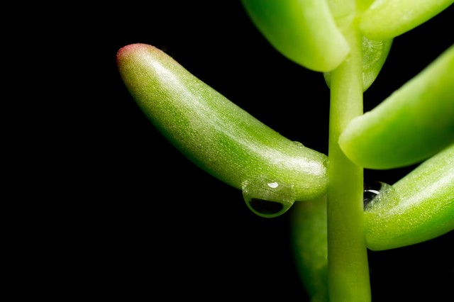 多肉植物と水滴の写真