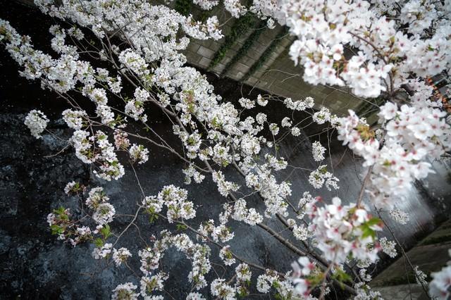 目黒川と桜の写真