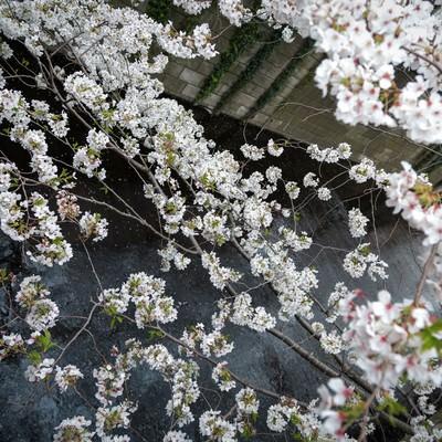 「目黒川と桜」の写真素材