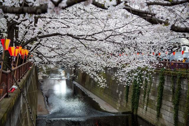 目黒川の連なる桜の木の写真