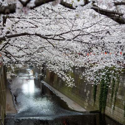 「目黒川の連なる桜の木」の写真素材