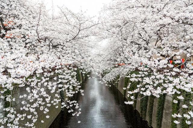 目黒川沿いの桜の写真