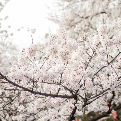 「観桜会と桜」の写真素材