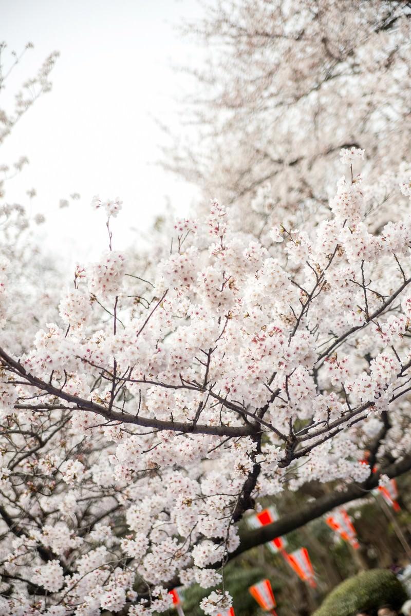 「観桜会と桜」の写真