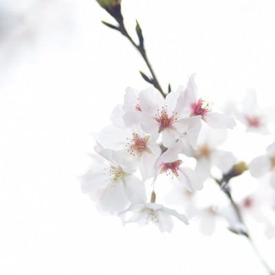「桜のお花」の写真素材