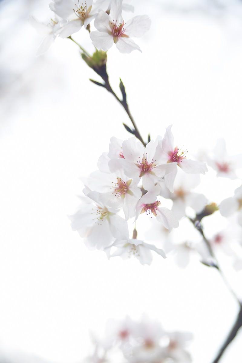 「桜のお花」の写真