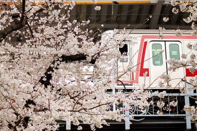 東横線と桜の木の写真
