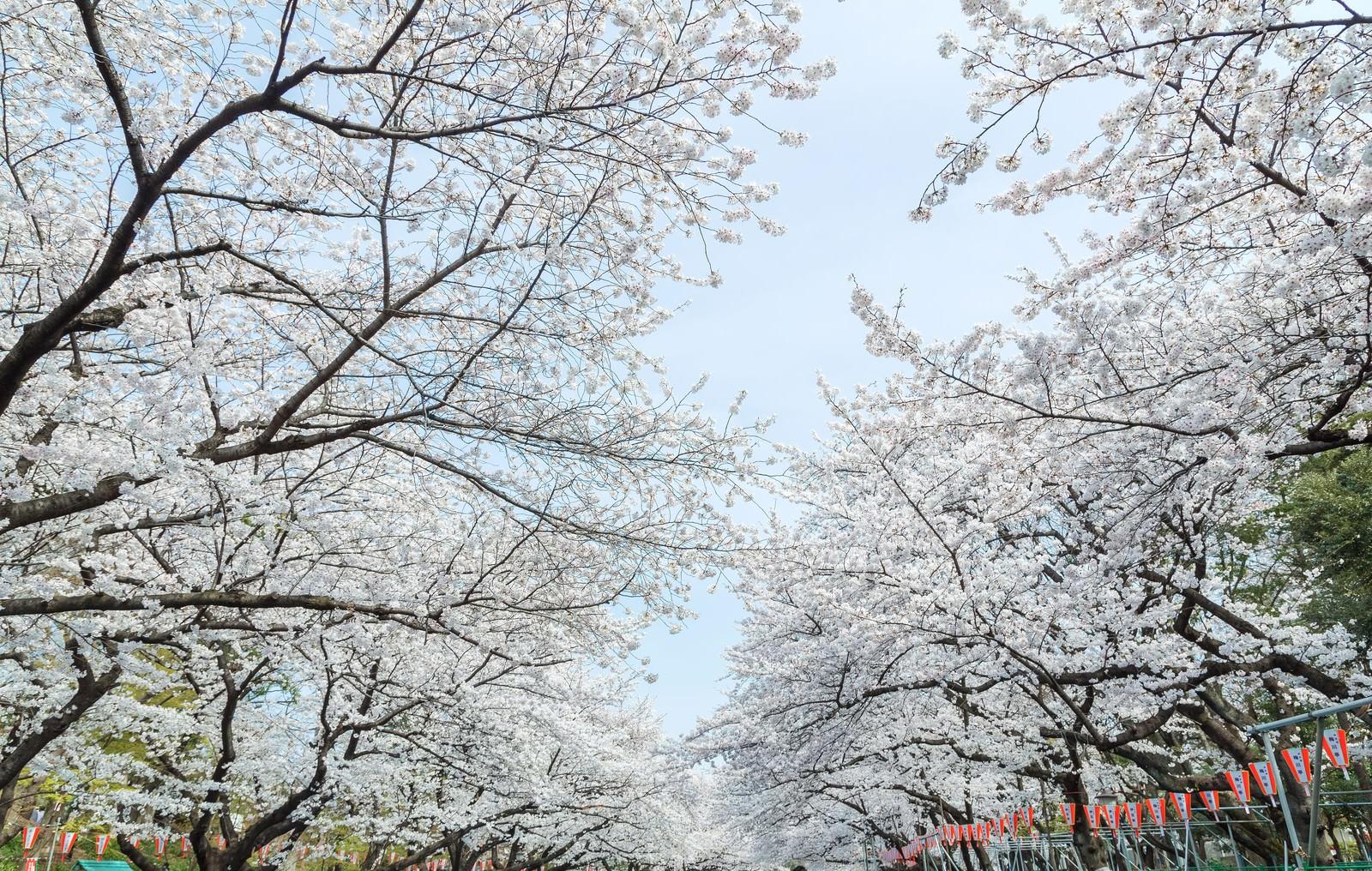 「上野公園 桜 フリー画像」の画像検索結果