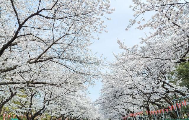 上野恩賜公園の桜の写真
